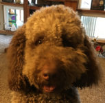 Hank Aug 2015 Labradoodle AverysOwlery.com